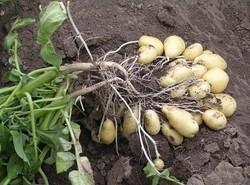 DITTA Salaterdäpfel 5 kg